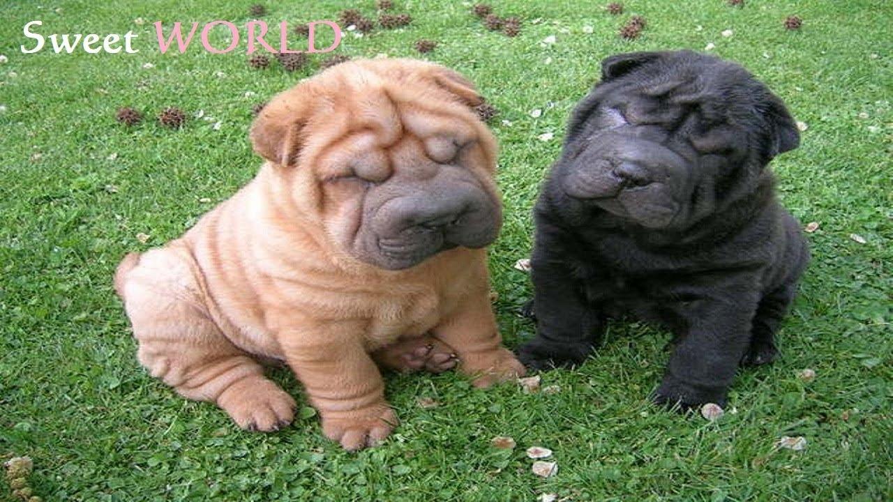 Simple Shar Pei Chubby Adorable Dog - maxresdefault  Trends_51648  .jpg
