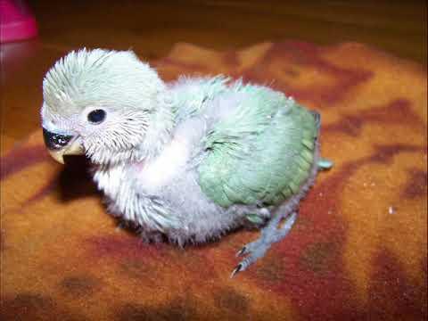 Growth Progression of a Lovebird Baby