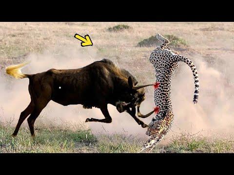 Brave Wildebeests Knock