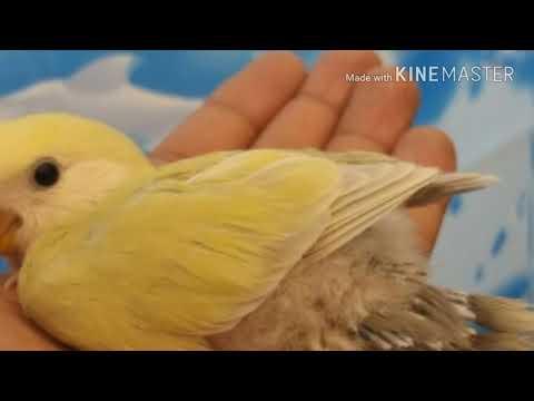 Why Love birds kill their chicks Urdu/Hindi