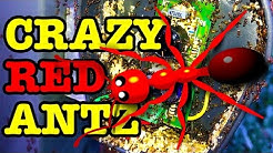Crazy Red Ant Invasion Educational Pest Control