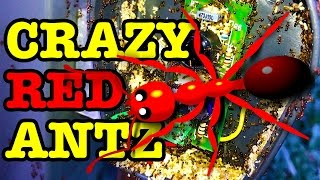 Crazy Red Ant Invasion THOUSANDS OF ANTS & EGGS DIE (Pest Control)