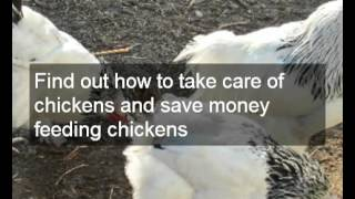 How To Make The Most From Backyard Chicken Farming |incorporate Backyard Chicken Farms Into Gardens