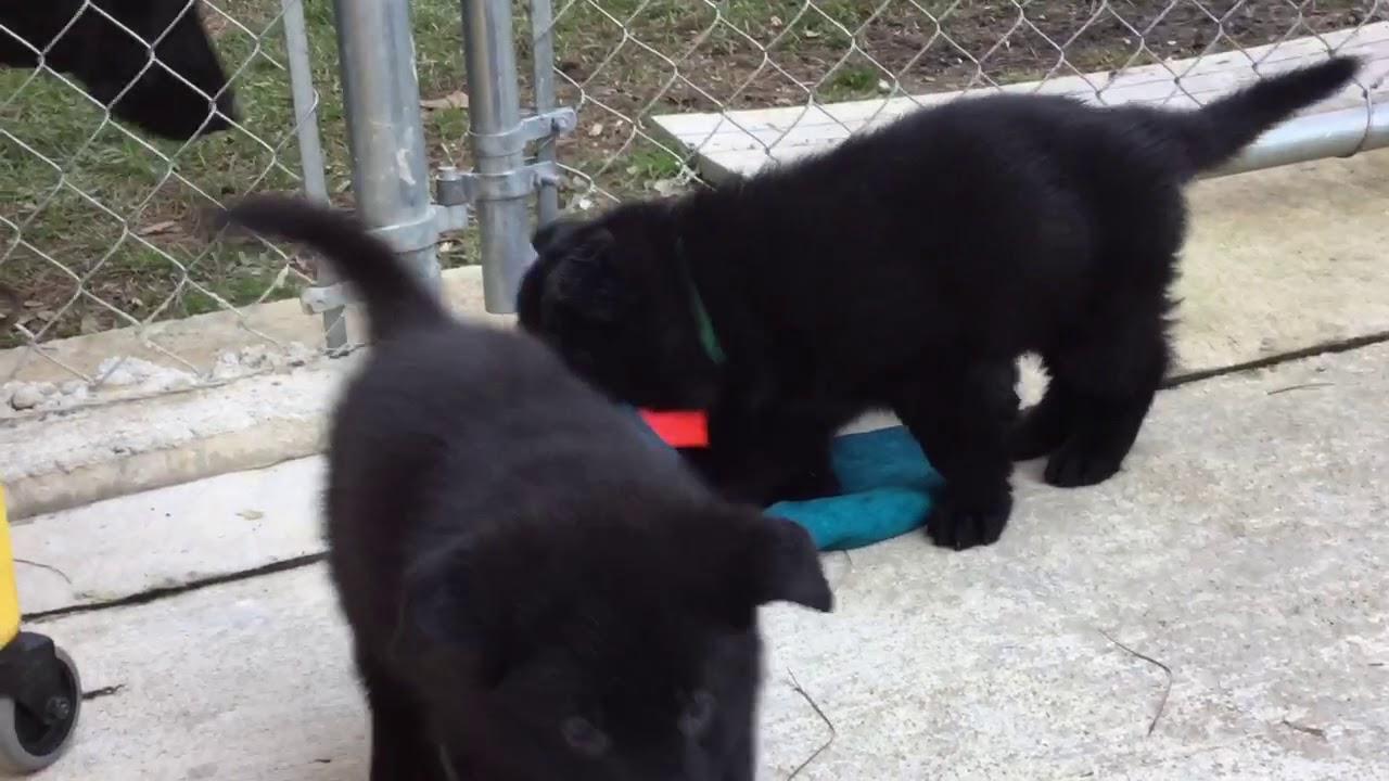 Black German Shepherd Puppies With Gsm