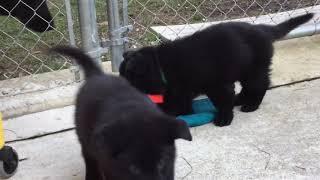 10 Black German Shepherd Puppies with GSM