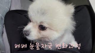 강아지 눈물자국 변화 과정