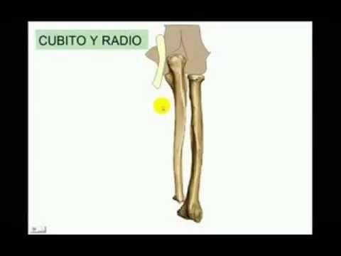 HUESOS DEL ANTEBRAZO - YouTube