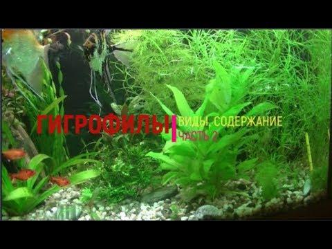 Гигрофила - растение для начинающих. Виды. Содержание. Часть 2. Hygrophila - a plant for beginners.