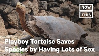 Diego the Playboy Tortoise Saves Species by Having Lots of Sex  | NowThis