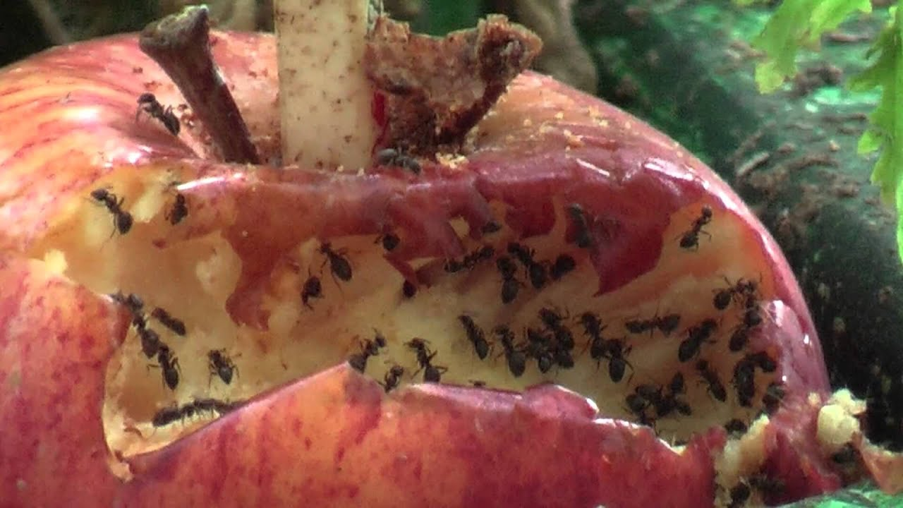 ants eat apple squirrel eats ants and apple youtube. Black Bedroom Furniture Sets. Home Design Ideas