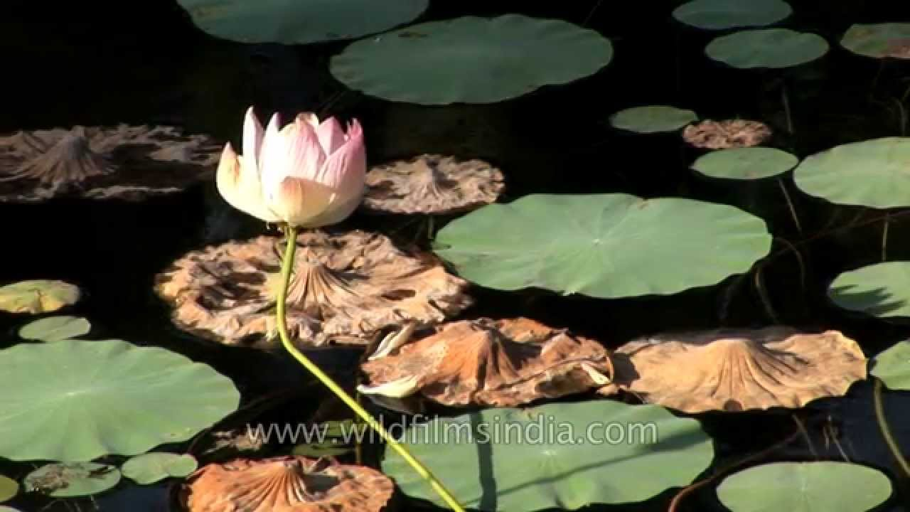 Lotus Flower In Bloom In India Youtube