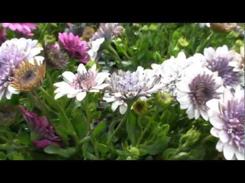 3D Silver Osteospermum annual flowers