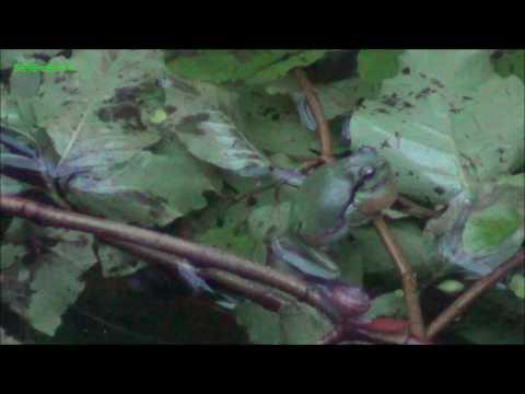 Hyla arborea, singing and courtship behaviour/ Quak- und Balzverhalten