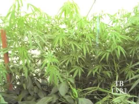 Фото конопли в посадках самые смешные фильмы про марихуану