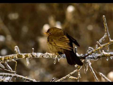 Chants d'oiseaux de France partie 1