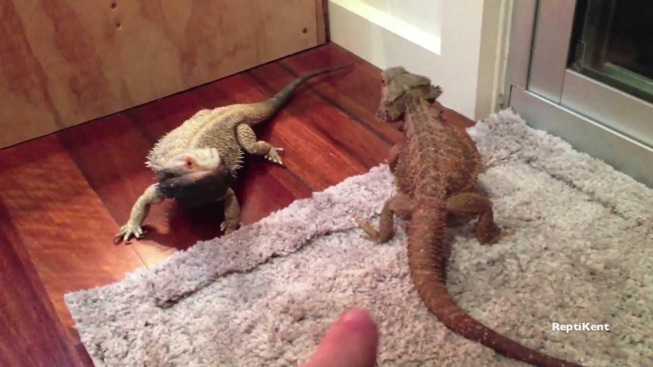 dieta de dragón barbudo diabetes juvenil
