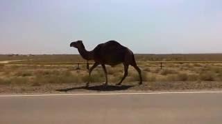 Верблюд и лошади, Актау