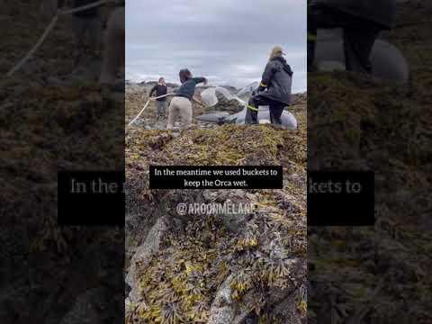 Rescatan a orca varada tras terremoto en Alaska