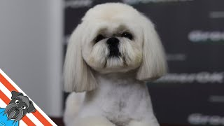 Beautiful lhasa apso haircut short  Grooming lhaso apso