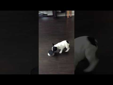 Funny Puppy Running Around Playing With Dog Bowl