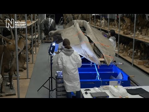 Whale move: conservation commences | Natural History Museum