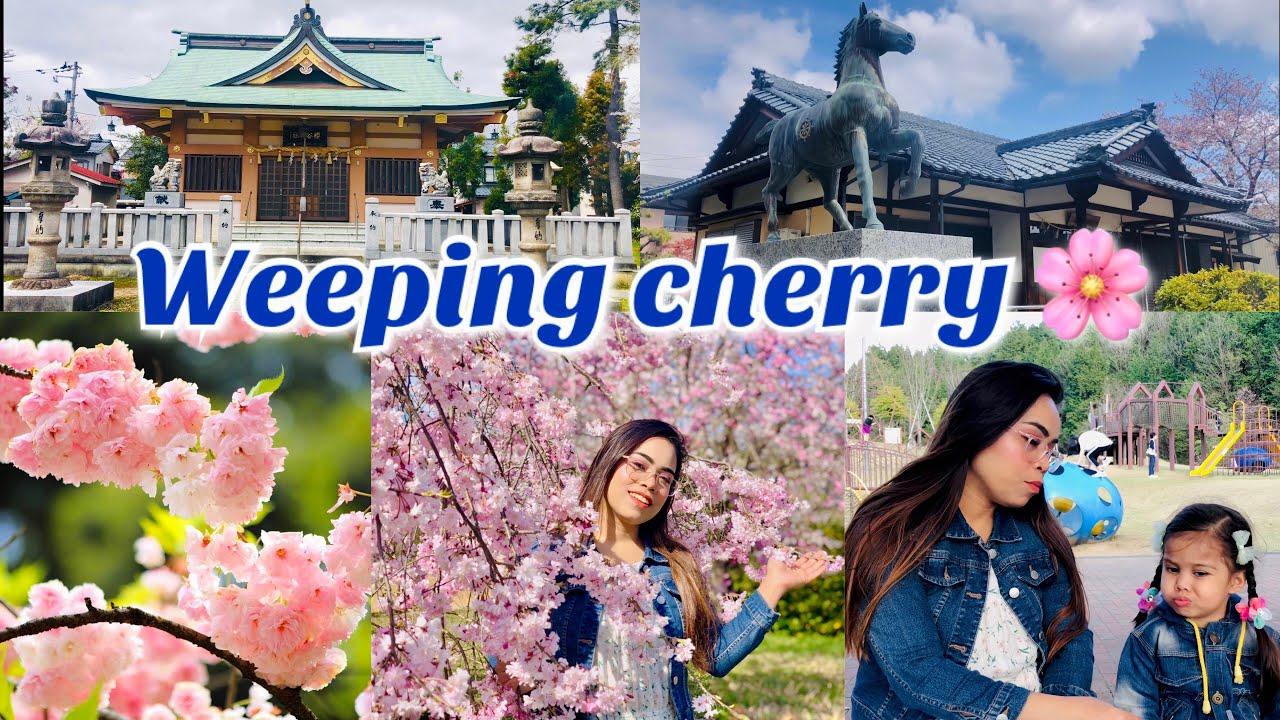 """Download জাপানের শিদারে জাকুরা গাছ ।Weeping plum-trees""""shidare zakura"""" are in full blossom at Fukui 2021"""