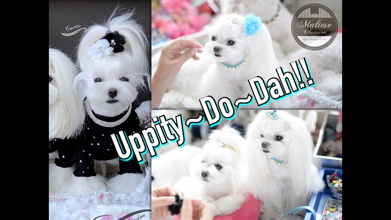 Grooming Uppitydodah Korean Style Maltese Grooming Updo And