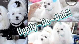 Grooming:   Uppity~do~dah - Maltese Hairstyles ~~ Updo & Side Ponytail Maltese Home Grooming