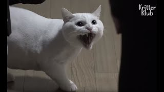 This Cat Looks So Fluffy And Cute But Why Is He So Angry At His Owner? | Kritter Klub