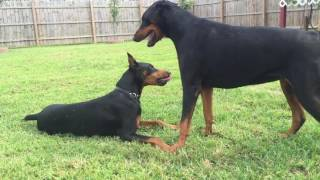 Female Doberman Brena Showing Her Dominance :) After Play Fight