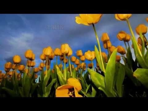 Yellow Tulips   Цветы тюльпаны