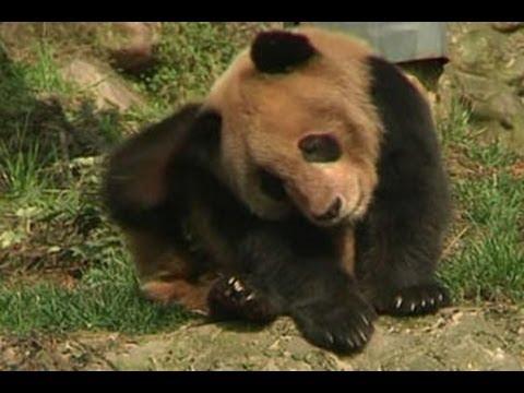 Teh Eksotis Dari Pupuk Kotoran Panda