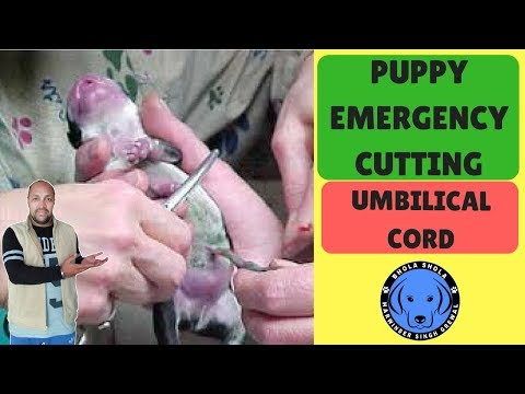 Dog Birth - Puppy Emergency Cutting Umbilical Cord - Bhola Shola