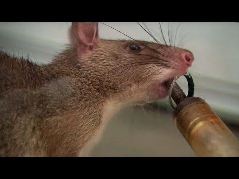 Giant rats that can sniff out TB