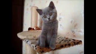"""ПРОДАЖА. Британский мальчик Окрас голубой  Помёт """"D"""" Возраст на видео 2,5 месяца."""
