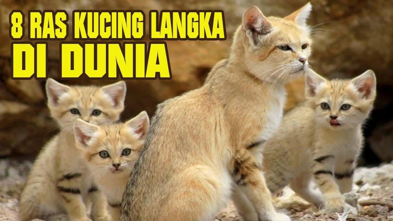 Sedih 8 Jenis Kucing Langka Yang Hampir Punah Di Dunia Kucing Liar Youtube