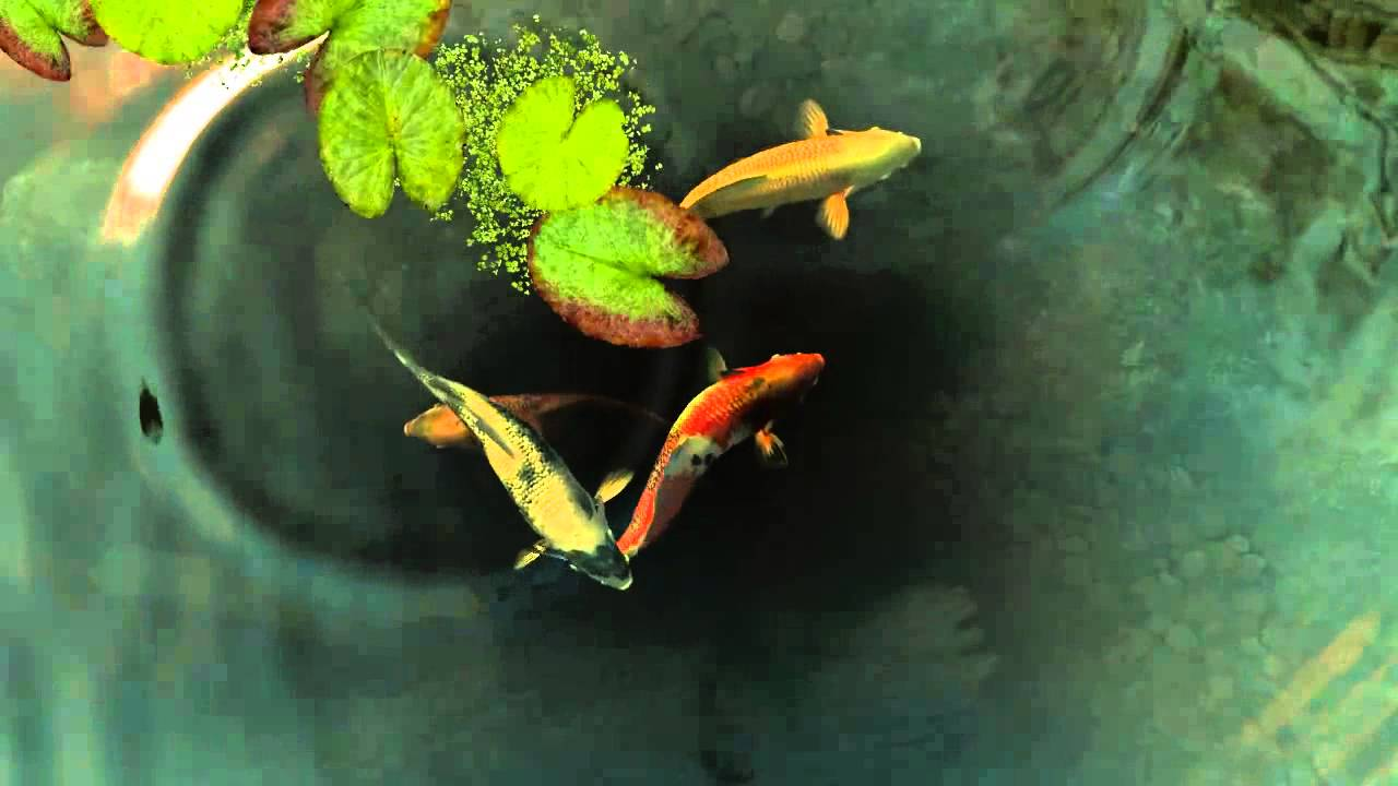 Koi Fish live wallpaper - YouTube