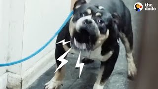 """Aggressive"" Pit Bull Rescued From Basement - DONATELLO 