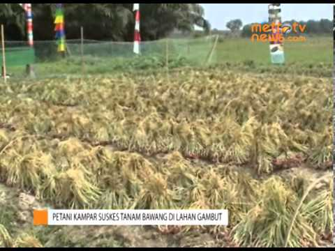 Petani di Kampar Sukses Tanam Bawang Merah di Lahan Gambut