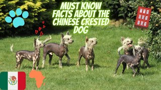 Getting To Know Your Dog's Breed: Chinese Crested Dog Edition