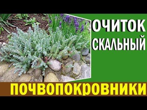 Почвопокровные растения для сада . Очиток скальный . Седум скальный