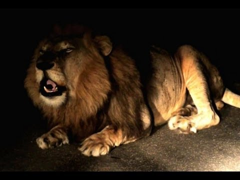 Huge Male Lion Roaring In The Night - October 2012 - Latest Sightings