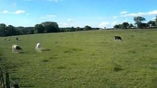 La vache qui pete