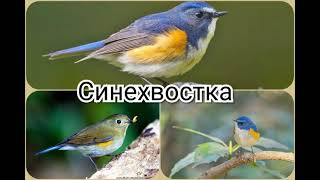 Синехвостка (англ. Red - Flanked Bluetail)