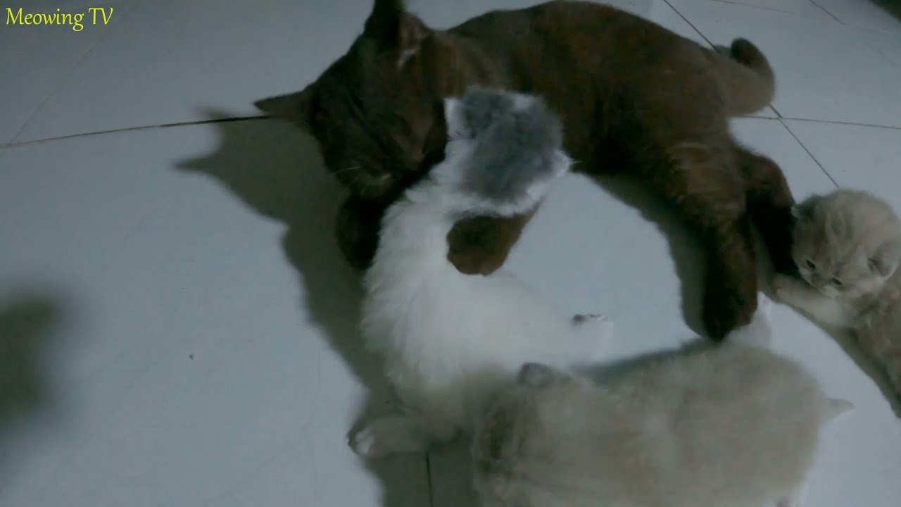 Kittens get to know a lovely chocolate colored cat.