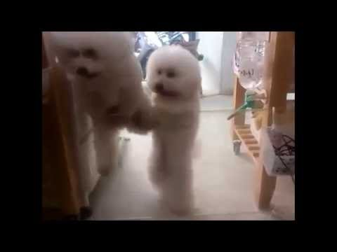 Dog humor video dancing Latin(dog tee shirts)