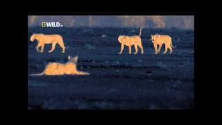 Ночь льва - Классный фильм National Geographic (документальные фильмы о животных)