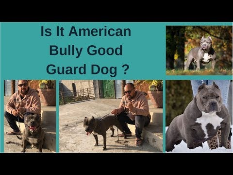 Dog Breeds American Am Bully Good Guard Watchdog Puppy