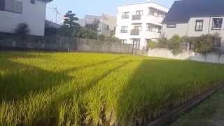 Rice Paddy Farm in Urban Japan II