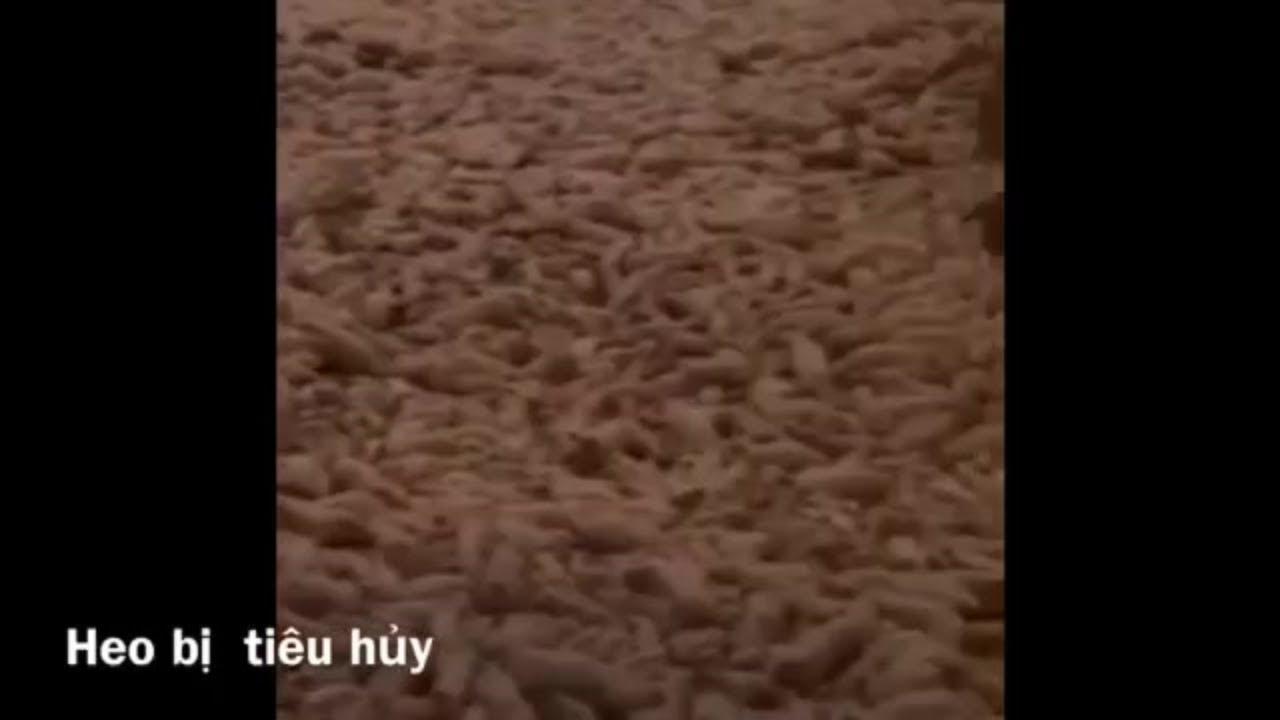 KINH HOÀNG tiêu hủy hàng trăm ngàn con heo dịch tả Châu Phi - YouTube